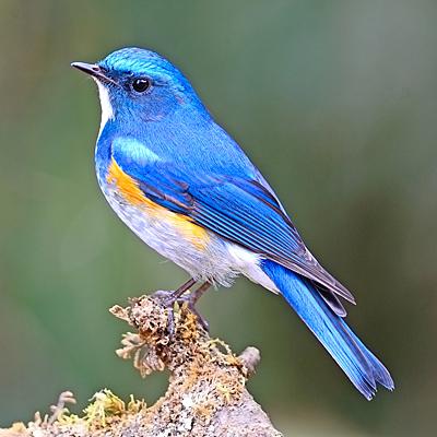 BLUEBIRD_133272170